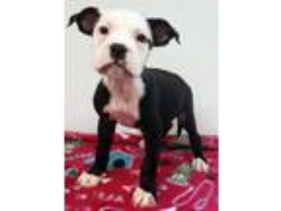 Adopt Patsey a American Staffordshire Terrier