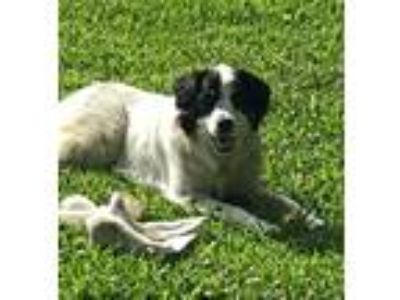 Adopt Layla-Avail June 21-CT a White Great Pyrenees / Border Collie / Mixed dog