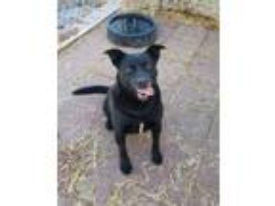 Adopt Winston a Black Labrador Retriever, Australian Kelpie