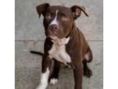 Adopt Willie Wonka 9035 a Pit Bull Terrier