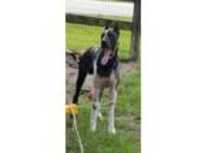 Adopt Astro a Great Dane