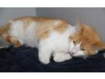 Adopt Ian Fleming (Combo Tested) a Domestic Short Hair, Tabby