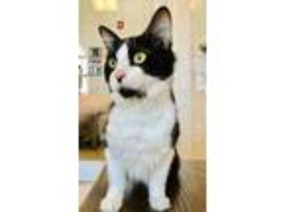Adopt Ivan a All Black Domestic Longhair / Domestic Shorthair / Mixed cat in