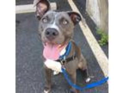 Adopt Atara a Gray/Blue/Silver/Salt & Pepper American Pit Bull Terrier / Mixed