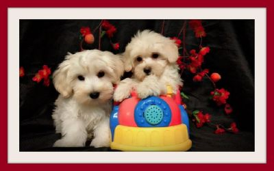 CUTE MALTESE MIXED WITH POODLE  IN SAN JOSE !!!