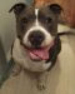 Cora *URGT* IMMED FOSTER HOME NEEDED American Staffordshire Terrier - Pit Bull Terrier Dog