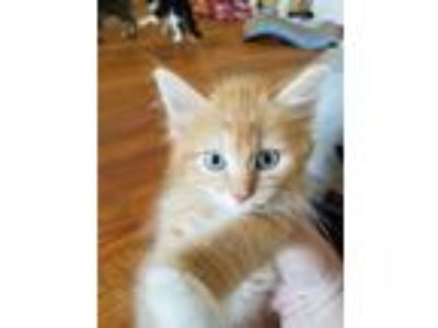 Adopt Honeycomb a Spotted Tabby/Leopard Spotted Domestic Longhair / Mixed cat in