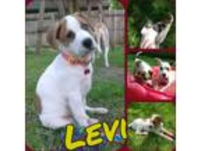 Adopt Levi a White - with Brown or Chocolate Labrador Retriever / Hound (Unknown