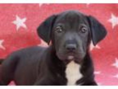 Adopt Grumpy a Labrador Retriever, Cattle Dog