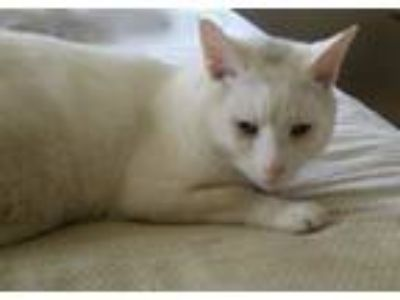 Adopt Prince a Domestic Short Hair
