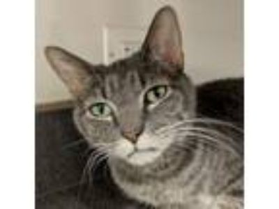 Adopt Skelly a Gray, Blue or Silver Tabby Domestic Shorthair (short coat) cat in