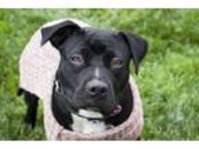 Adopt Kona a Pit Bull Terrier / Border Collie / Mixed dog in Napa, CA (24623018)