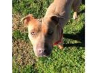 Adopt Venus a American Staffordshire Terrier / Labrador Retriever / Mixed dog in