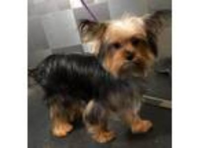 Adopt Denver SDR in TX a Yorkshire Terrier
