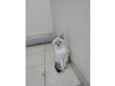 Adopt Smokey a White (Mostly) Domestic Shorthair cat in Atwater, CA (25319623)