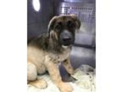 Adopt 41671308 a Brown/Chocolate Shepherd (Unknown Type) / Mixed dog in Fort