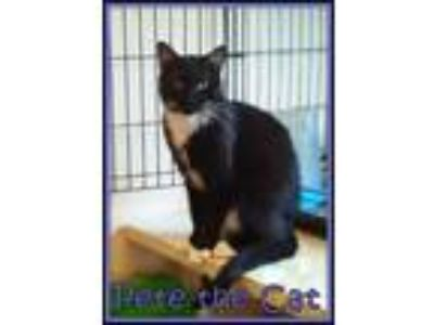 Adopt Pete the Cat a Domestic Short Hair