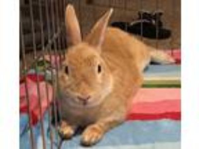 Adopt Peanut a Tan Dwarf / Mixed rabbit in Woburn, MA (25938999)