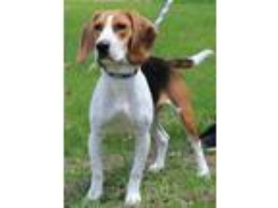 Adopt Bailey a Brown/Chocolate Beagle / Mixed dog in Portage, WI (25236455)