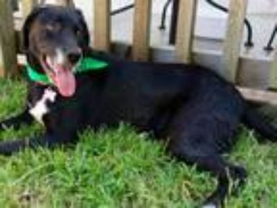 Adopt A - CARLY a Black - with White Labrador Retriever / Australian Shepherd /