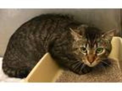 Adopt 17119 a Gray, Blue or Silver Tabby Domestic Shorthair (short coat) cat in