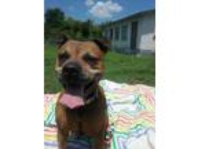 Adopt Katie a Pit Bull Terrier, Mixed Breed
