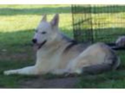 Adopt Jewel a German Shepherd Dog