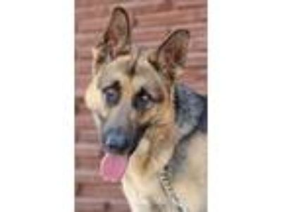 Adopt Gus von Gustow a Black - with Tan, Yellow or Fawn German Shepherd Dog /