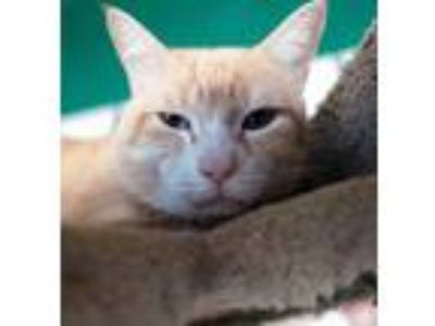 Adopt Shiloh a Orange or Red Tabby Domestic Shorthair (short coat) cat in