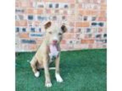 Adopt Latte a Pit Bull Terrier