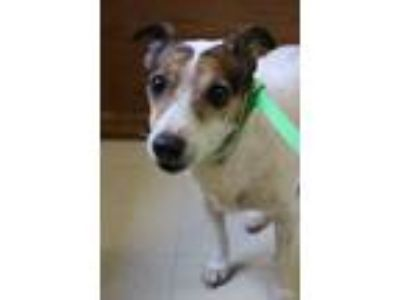 Adopt Lucy a Jack Russell Terrier