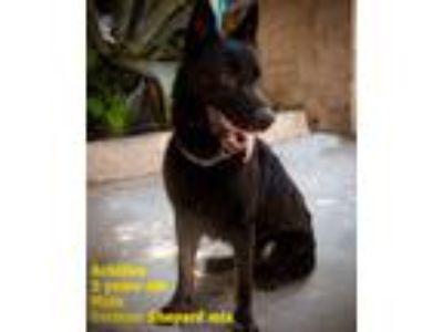 Adopt Achilles a German Shepherd Dog