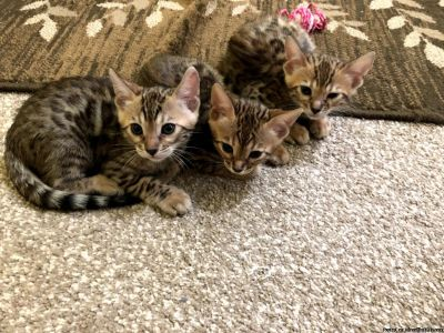 Bengal kittens from Mosaic Bengals (a TICA registered cattery)