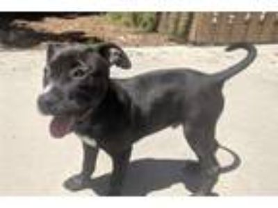 Adopt BRODERICK a Pit Bull Terrier, Mixed Breed