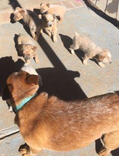 Red Heeler/Australian Cattle Dog Puppies