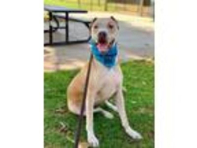 Adopt Rufus a Labrador Retriever / American Pit Bull Terrier / Mixed dog in Dana
