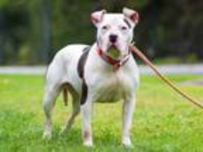 Adopt TAWNY a Pit Bull Terrier
