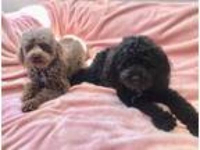 Adopt Izzy and Elle a Black Poodle (Miniature) / Mixed dog in Temecula