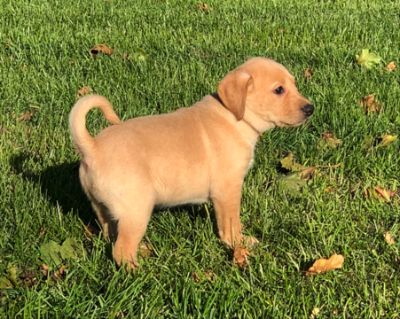 Labrador Retriever PUPPY FOR SALE ADN-101247 - AKC Yellow Lab Puppies Available NOW