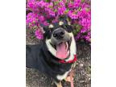 Adopt Lilly a Black Shepherd (Unknown Type) / Mixed dog in Valley View