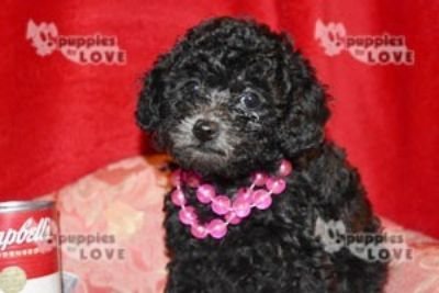 Poodle (Toy) PUPPY FOR SALE ADN-94526 - AKC TOY FULL REGISTRATION