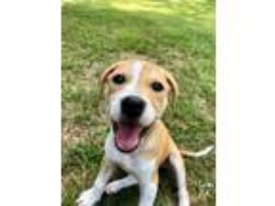 Adopt Amy a Pit Bull Terrier