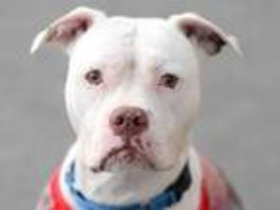 Adopt Erika a Pit Bull Terrier, Boxer
