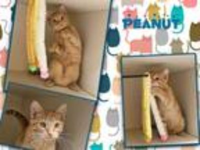 Adopt PEANUT a Brown or Chocolate (Mostly) Domestic Shorthair / Mixed (short