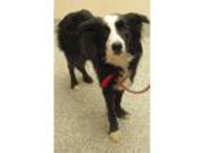 Adopt Archie a Border Collie / Mixed dog in Golden, CO (25290542)