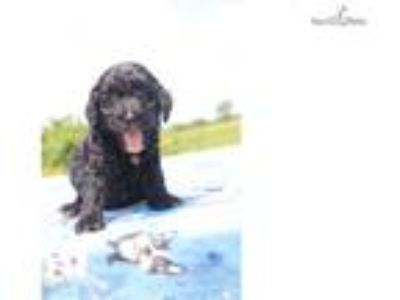 F1b Goldendoodle PANTHER non shedding SOON