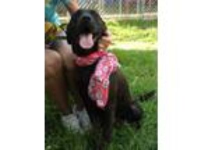 Adopt Maggie a Black Labrador Retriever / Great Dane / Mixed dog in Voorhees