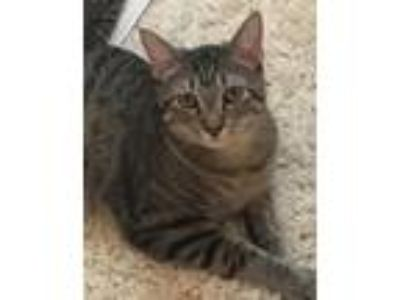 Adopt Vinny a Domestic Shorthair / Mixed cat in Claremore, OK (23184336)