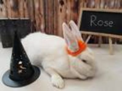 Adopt Rose a White Florida White / Mixed (short coat) rabbit in Columbus