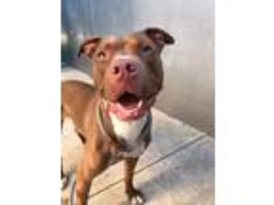Adopt Coletta a Brown/Chocolate - with White Pit Bull Terrier / Mixed Breed